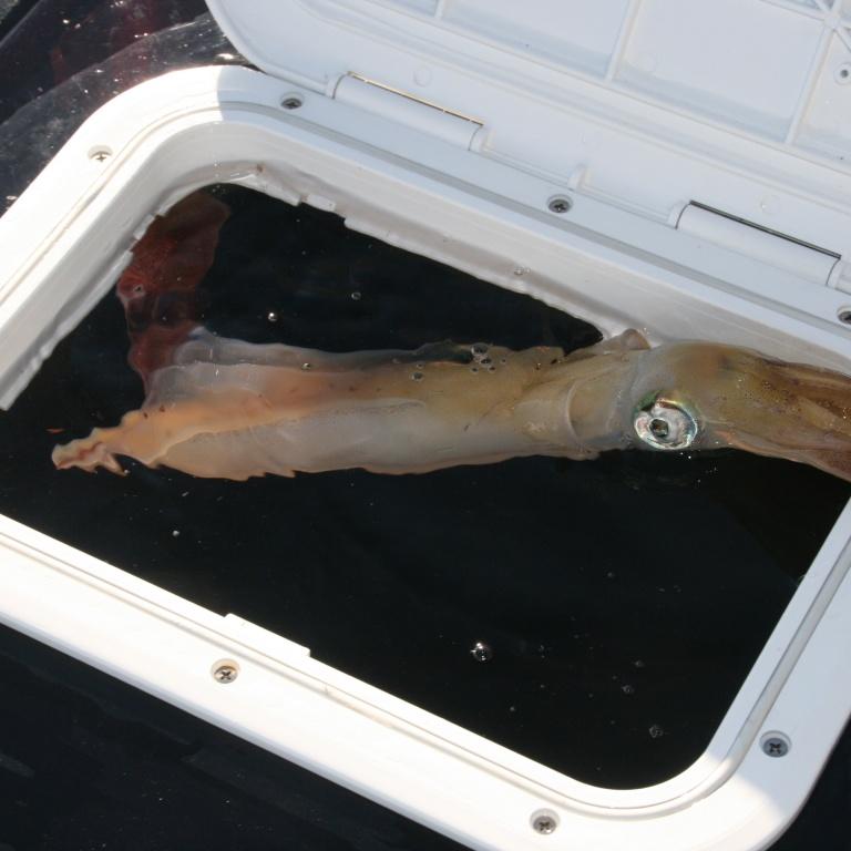 Comment conserver vivants vos calamars pour la p che au for Vivier a poisson